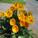 Our tulips in the spring