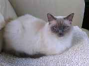 Profile Picture for Housesitter Required for House Sit ragdollhouse