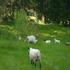 Sheep & goats on our land in Spring