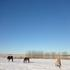 Horses winter grazing