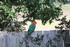 King Parrot on the fence