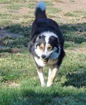 Profile picture for House Sitter herdingdogmom