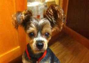 Profile picture for houseowner seeking housesitter yorkieluver