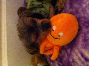 Profile picture for House Sitter Yorkiemom
