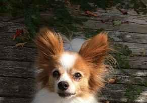 Profile Picture for Housesitter Required for House Sit shelties1__papillons
